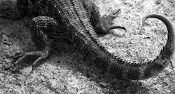 Kubansk reptil
